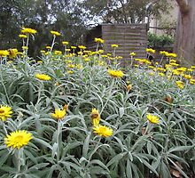 Deepdene - Paper daisies by Maureen Keogh