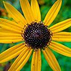Yellow Daisy by AlexanderJones