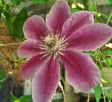 Clematis by James Brotherton