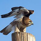 121812 Red Tailed Hawk by Marvin Collins