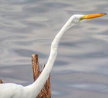 American Egret by Jeff VanDyke