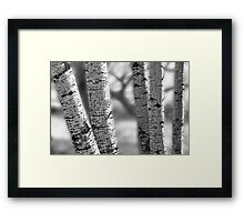 Colorado White Birch Trees in Black and White Framed Print