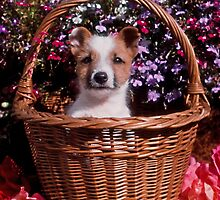 Jack Russell Puppy in Wicker Basket by Kawka