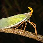 Bug from panama by jimmy hoffman