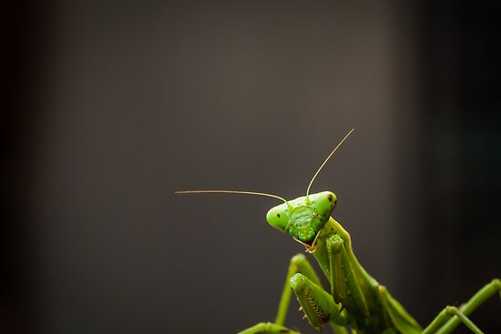 Praying Mantis by Edmond Leung