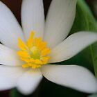 Bloodroot by Benkeys
