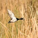 Ring necked duck. by mikepemberton