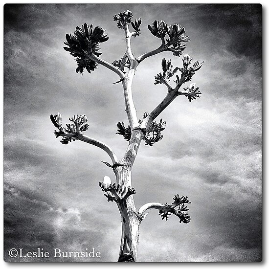 The Yucca Stalk, by Leslie Burnside by MobiTog