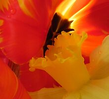 Tulip Fire by Annette  Clark