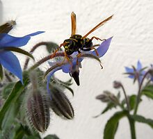Borage Wasp by PierPhotography