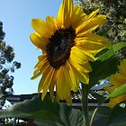 My sunflowers have bloomed by catherine walker