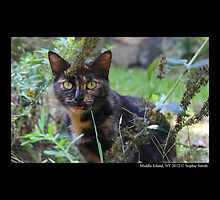 Domestic Shorthair Tortoishell Cat  by © Sophie W. Smith
