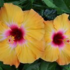 Orange Hibiscus by Sandy1949