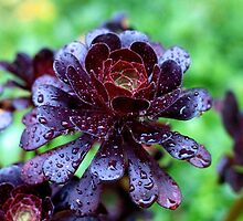 Dewdrops on Purple Aeonium by Astrelis