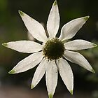 Flannel Flower by Erland Howden