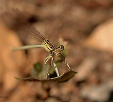 Dragonfly surprised by Neutro