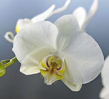 White Orchid by Vac1