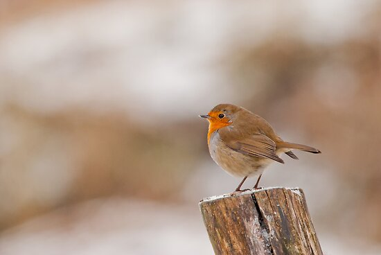 Robin Red Breast ~ Merry Christmas by M.S. Photography/Art