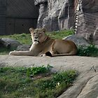 Lion Around by ajwalters