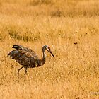 Sandhill Crane by Rose Vanderstap