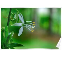 Delicate Spider Plant Blossom Poster