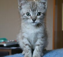 Gray Tabby Kitten by ritmoboxers