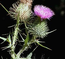 "The ""Common"" or ""Spear"" Thistle (Cirsium vulgare) by Gene Walls"