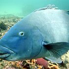 Blue Groper. by peterperry
