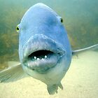Blue Groper by peterperry