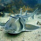 Port Jackson Shark. by peterperry
