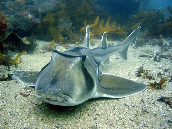 Port Jackson Shark. by peterperry