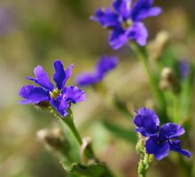 blue dampiera by GrowingWild