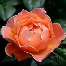 Fellowship rose by DebbyScott