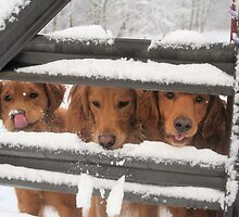 Trio Of Goofy Golden Retrievers by goldnzrule