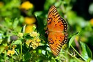 Wings of the Gulf Fritillary Butterfly by Gene Walls