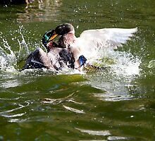 Ducks in action by Christian  Zammit
