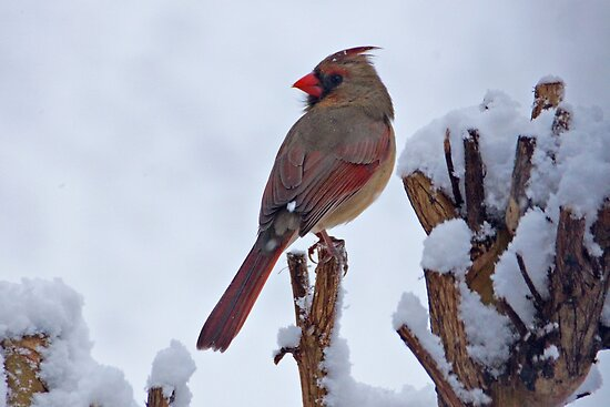 Female Cardinal in the Snow II by Sandy Keeton