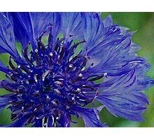 Cornflower so blue Photographic Print