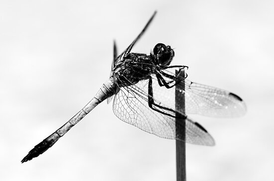 Dragonfly in black & white by Ladyshark