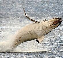 humpback whale calf. bicheno, tasmania by tim buckley   bodhiimages