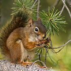Red Squirrel eating pine nuts . by Rose Vanderstap