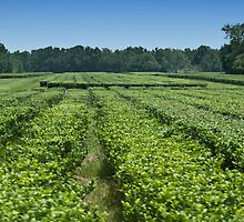 Charleston South Carolina Tea Plantation ~ Read description for story by barnsis