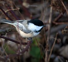 Chickadee At Cranberry Marsh by Gary Chapple