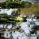 lake ainsworth waterlily reflection by GrowingWild