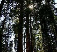 Sequoias and Shadows by Michael Kirsh