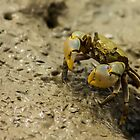 Mud Crab by srhayward