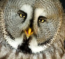 Great Grey Owl by Kawka