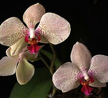 Orchids in Bloom by Lynn Gedeon