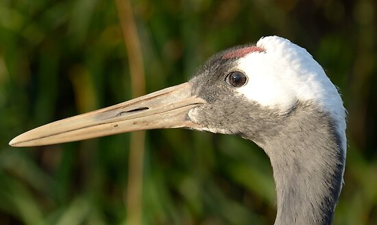 Chinese kraanvogel / Red-crowned Crane by MaartenMR