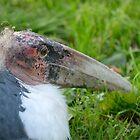 Afrikaanse maraboe / Marabou Stork by MaartenMR